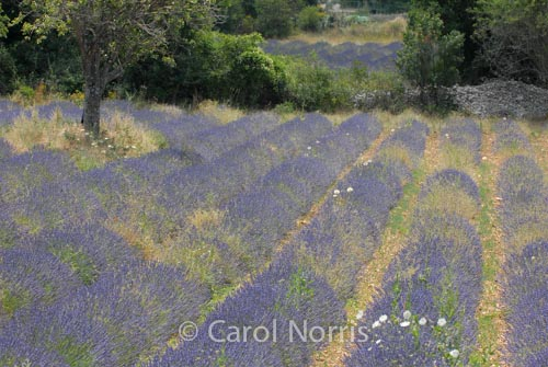 Provence-France-lavender-rows-tree-stonewall