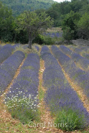 Provence-France-rows-lavender-tree-field
