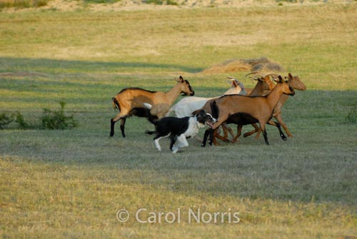 Provence-France-sheepdog-goats