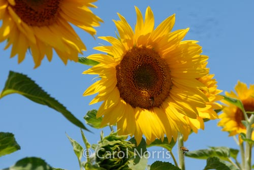 Provence-France-sunflower
