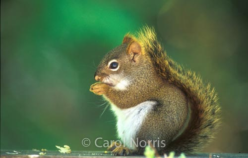 Red-squirrel-prayer-thanksgiving