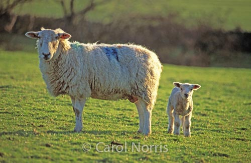 Sheep-and-lamb-spring-Yorkshire-England