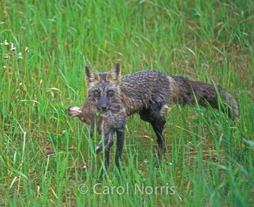 Silver fox-rabbit