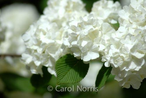 Snowball-hydrangea-white-flower