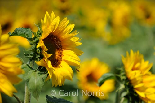 Sunflowers-bee-Provence-flowers