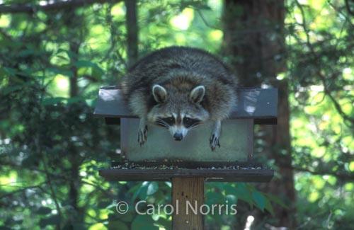 Wildlife-Raccoon-Bird-feeder-MacGregor-Provincial-Park-Ontario