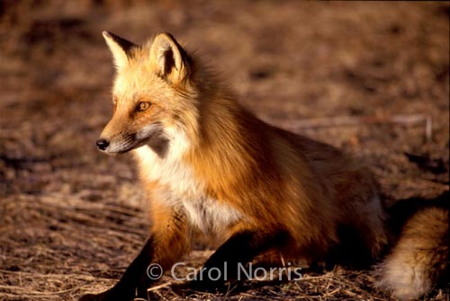 Wildlife-Red Fox-Algonquin-Park-Ontario