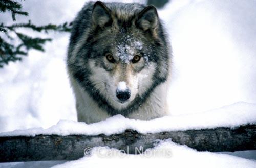 Wildlife-gray wolf-winter