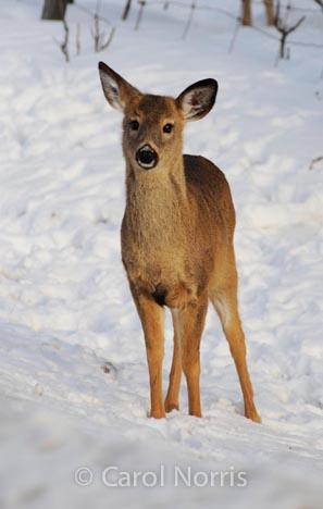 young-deer-snow-canada