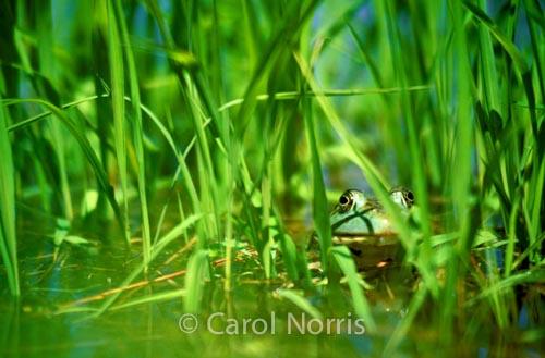 amphibian-Bull Frog-grass-Canada