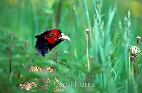 birds-pheasant-England-male-pheasant-grass