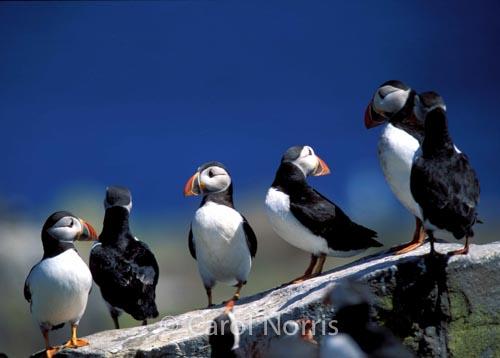 birds-puffins-rock-England
