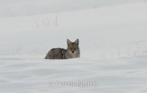 crafty-coyote-Yellowstone