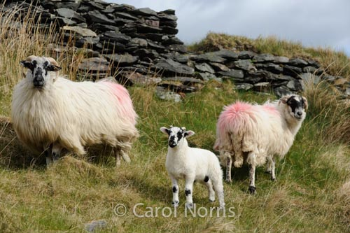 family-sheep-Ireland