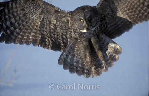 great-grey-owl-landing-snow-ontario-phantom-of-the-north-bird