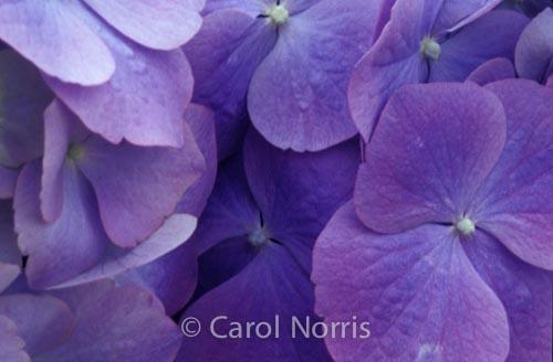 hydrangea-purple-flower