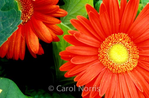 orange-flower-gerberas