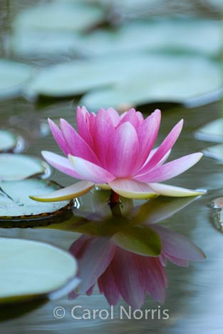 pink-waterlily-lilypads-flowers-Provence