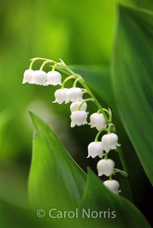 purity-white-green-lily of the valley-spring-flowers