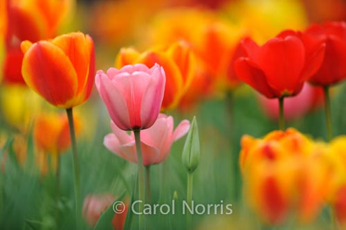 spring-tulips-pink-red-orange-Ontario-flowers