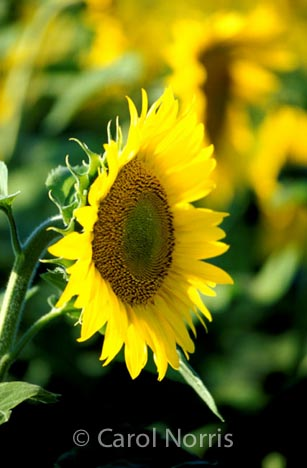 sunflower-yellow-flower-Ontario