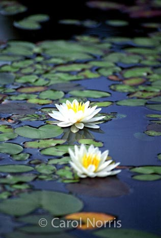water-lilies-white-yellow-flowers
