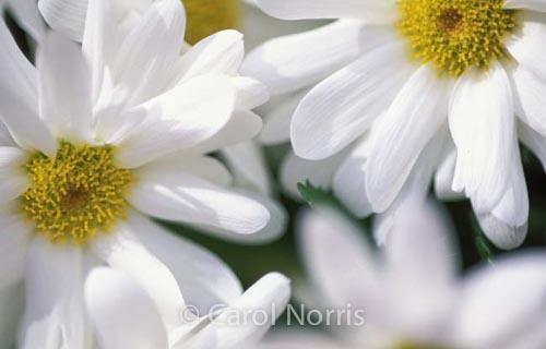 white-daisies-flower