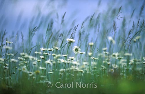 wild-daisies-grass-new brunswick-flowers
