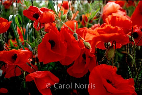 Red poppies carol norris photography red poppies mightylinksfo