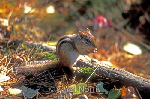 wildlife-Chipmunk-Algonquin-Park-Ontario