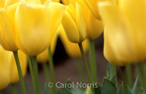yellow-tulips-Ottawa-flowers