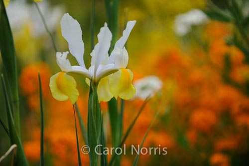 bright-beautiful-iris-monet-garden-paris