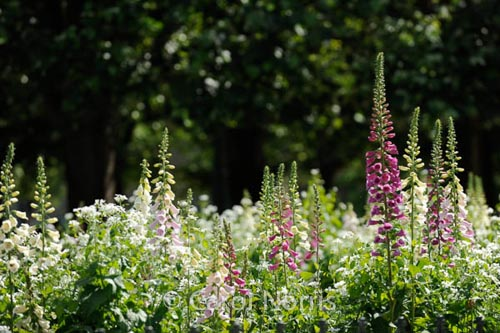 foxgloves-flowers-paris-notre-dame