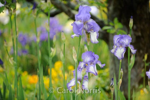 iris-purple-monet-garden-paris-giverny