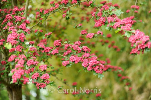 pink-blossom-monet-garden-giverny-paris