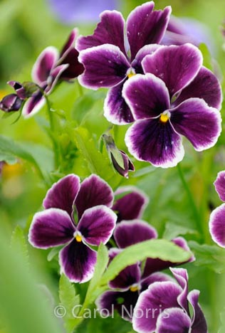 purple-pansies-flowers-monet-garden-giverny