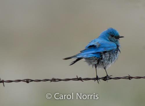 bird-on-a-wire-blue-mountain