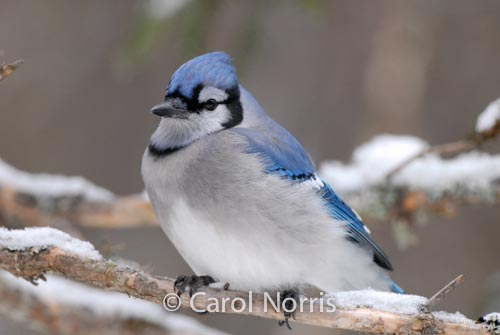 blue-jay-canadian-bird-algonquin-park