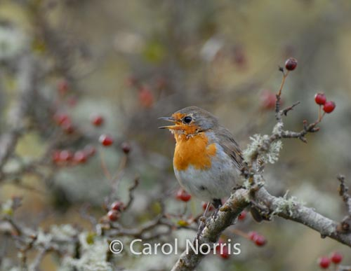 british-english-robin-red-breasted-bird