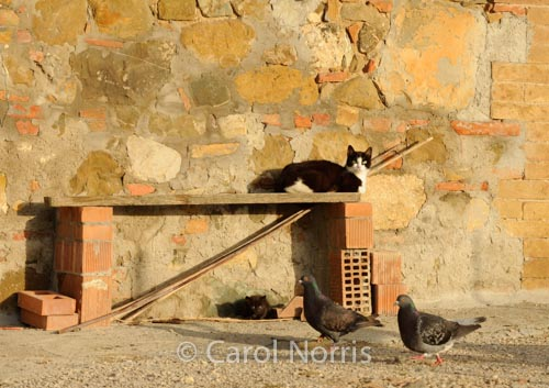 cat-kitten-pigeons-watching-italy