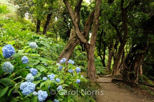dancing-trees-blue-hydrangeas-villa-carlotta-italy-lake-como