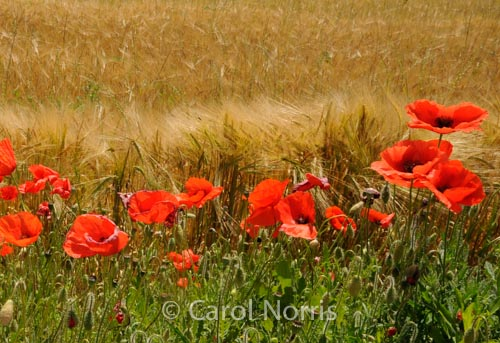 poppies-dancing-italy-tuscany