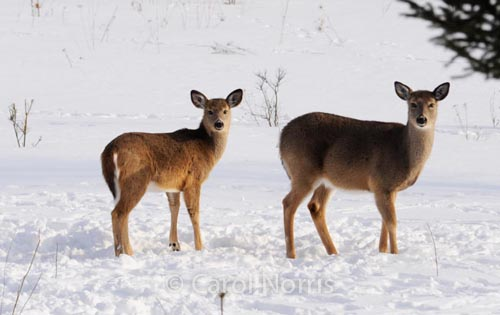 Two deers in The Snow