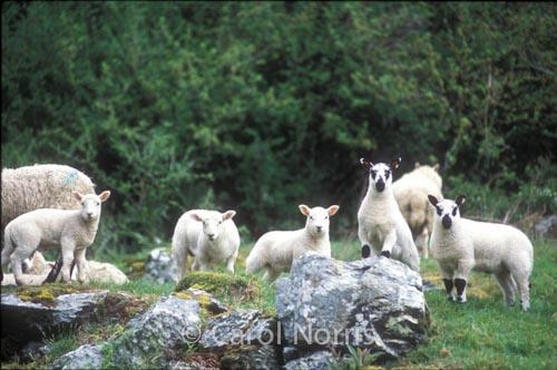 5 Little Lambs