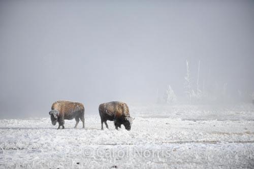 Bison in the snow 2