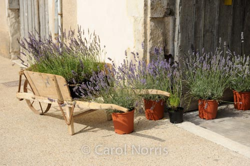 Lavender Gardening