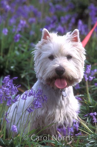 Scottie in the Bluebells