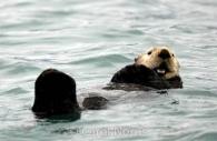 Smiling-Sea-Otter-Alaska.jpg