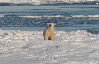 Polar-bear-ice-flows.jpg