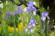 iris-purple-monet-garden-paris-giverny.jpg